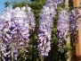 My Wisteria Bloomed